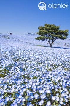 "cherjournaldesilmara: ""Baby Blue Eyes""(Nemophila)- Hitachi Seaside Park in Hitachinaka, Ibaraki - Japan Beautiful World, Beautiful Places, Beautiful Pictures, Hitachi Seaside Park, Parks, Photos Voyages, Japan Travel, Amazing Nature, Belle Photo"