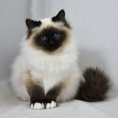 Birman | Kittens For Sale | Felonie Birmans | Birman Cats | Salisbury Wiltshire
