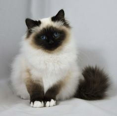 birman kittens ANimais cutcut Pinterest Birman