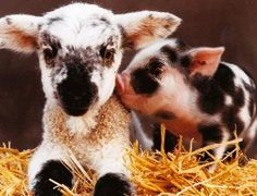 Baby Animals- I told Justin we could have a farm if everything on it would stay babies :) Cute Baby Animals, Farm Animals, Funny Animals, Beautiful Creatures, Animals Beautiful, Animal Pictures, Cute Pictures, Tier Fotos, Mundo Animal