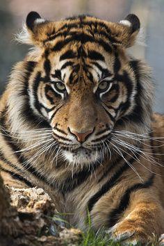 "greatanimalseverywhere: "" beautiful-wildlife: "" Sumatran Tiger by Jay-Co "" Animals """