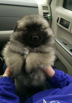 Keeshond And American Eskimo Mix. Who let the Teddy Bear in the Car? - 23 Chubby Puppies Mistaken For Teddy Bears Chubby Puppies, Fluffy Puppies, Dalmatian Puppies, Cute Fluffy Dogs, Bulldog Puppies, Chow Puppies, Fluffy Dog Breeds, Fluffy Corgi, Shitzu Puppies