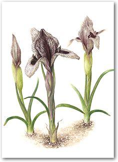 Iranian iris, Botanical Illustrations by Heather Raeburn