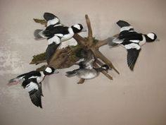 Bufflehead duck mounts; Harvested near Aberdeen, South Dakota