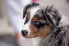 Really cute puppy with pretty blue eyes