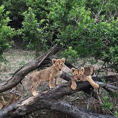 We were SO very lucky this morning as our car just drove by those 2 #babylions just posing for us  // Après 5 jours de #safari nous avons eu la chance incroyable de tomber sur ces 2 lionceaux !! Ils posaient pour nous  #soverylucky