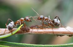 These large, alert ants are diverse in behavior and ecology. Formica includes some slave-raiders as well as less extreme forms of social parasitism. Wood Ants, Ant Species, Ant Spray, Ant Colony, Social Practice, Evolutionary Biology, Planet Earth, Ecology, Pvp