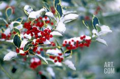 Holly Stretched Canvas Print by Dr. Keith at Art.com