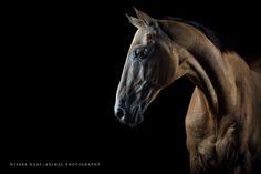 """Old Man"" - Akhal-Theke Ovoi - Photo: Wiebke Haas | www.wiebke-haas.de  #AkhalTheke #AchalTekkiner #equinephotography #horsephotography #pferd #pferde #pferdefotografie"