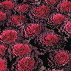 Osaka Red Ornamental Cabbage Seeds for Sale Ornamental Cabbage, Ornamental Plants, Cabbage Seeds, Seeds For Sale, Garden Spaces, Osaka, Container Gardening, Flower Pots, Paper Flowers