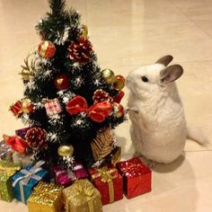 BuBu's favorite holiday is Christmas. | This Is The Most Important Chinchilla On Instagram Right Now