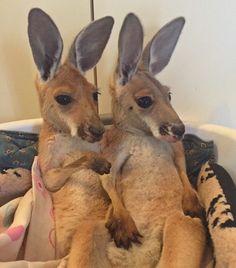 The Kangaroo Sanctuary Alice Springs Kingdom Of Cuteness - Kangaroo sanctuary alice springs