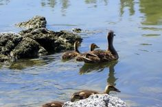 Duck & babies swimming in Silver Lake. Photo by Cynthia Wyatt