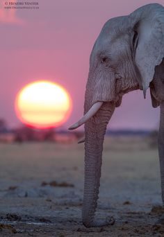 "With the sun setting in the background, an African Elephant lays its trunk on the ground to detect vibrations from the earth: This is called: ""Seismic Communication"" or ""Vibrational Communication. By: Hendri Venter on Photo Elephant, Elephant Pictures, Elephant Love, Elephant Art, African Elephant, African Animals, Elephants Photos, Wild Elephant, Elephant Images"