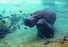 #Valencia Hippos @Bioparc Valencia