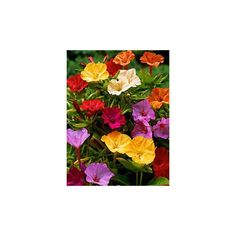 Nocenka jalapenská zmes farieb - Mirabilis jalapa - predaj semien - 1 gr