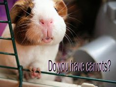 Me loves carrots Small Animals, Animals Of The World, Cute Animals, Baby Guinea Pigs, Pet Pigs, Guinea Pig Quotes, Birds In The Sky, Pig Stuff, Pet Supply Stores