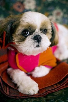Shih Tzu puppy.  http://doggiewoof.com/shih-tzu/ #DogArt