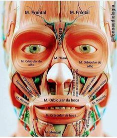 Pin on Escuela Pin on Escuela Head Anatomy, Gross Anatomy, Brain Anatomy, Human Body Anatomy, Medical Anatomy, Human Anatomy And Physiology, Muscle Anatomy, Medicine Notes, Medicine Student