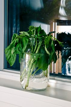 Fresh basil for the salad and bruschetta. Photo: Copyright (c) Suzanne Fiore Photography 2013