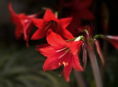 https://flic.kr/p/TZErCD   Getting closer (Explored)   Another view of the amaryllis in my garden. This one made it into Flickr Explore. I thank all of you who took the trouble to look and to those who gave it a fav.