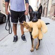 """Beckham, German Shepherd (4 y/o), 17th & 5th Ave., New York, NY • """"He hates the city. He won't leave the house without his lion – it soothes him. He doesn't need it when he's in the country."""""""