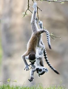 These ring-tailed lemurs love hanging out at the Indianapolis Zoo!