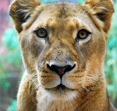 My photograph of a Lioness in the Taronga Zoo, located across the Sydney Harbor on Bradleys Head Road in Mosman, NSW, Australia.