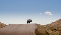 https://flic.kr/p/FPaBMk | 20160402-King of the hill. | #dakota#POTD #Day1554 #BlackHills #SouthDakota #buffalo #bison