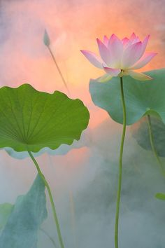 """No mud, no Lotus."" ~ Thich Nhat Hanh  Flow. Lotus born. Unknown artist."
