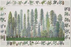 Northwest Native Conifers