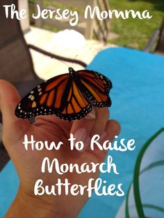 If you ever thought about raising butterflies with your little ones at home, I have some basic tips for you! As I'm sure you've figured ou. Butterfly Cage, Monarch Butterfly, Butterfly Plants, Butterfly Kisses, Swamp Milkweed, Milkweed Plant, Monarch Caterpillar, Flying Flowers, New Leaf