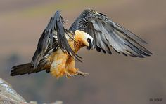 Lammergeier or Bearded Vulture landing....