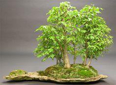 Ulmus parvifolia - saikei