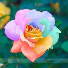 200pcs Rose seeds, Rare exotic seeds Chinese Rose Flower Seeds for home garden plants ,24 colors