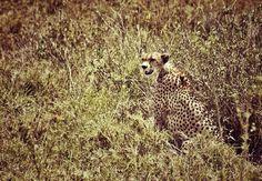 Guépard / Serengeti / Tanzanie 2014