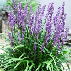 Grass-like evergreen foliage set with tall spikes of lavender-blue, hyacinth-like blooms from late summer, well into autumn. Slow spreading, it can be used as a groundcover or garden accent plant. Even in a container. The flowers appear whe