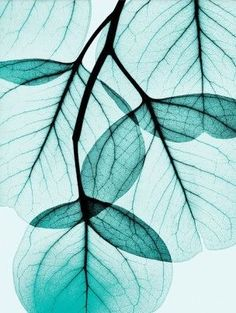 Translucent leaves | photography