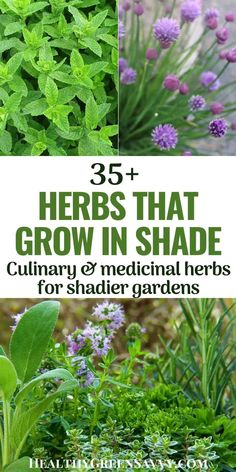 Do you have some shady parts of your yard where you'd like to grow some healthy fresh food? Here are more than 35 herbs that grow in shade. They're not only delicious, they're incredibly good for you, and many are quite easy to grow, even in colder climates. #herbgarden #gardening #herbsforshade #medicinalherbs #culinaryherbs #shadegardening Growing Ginseng, Growing Herbs, Container Gardening Vegetables, Vegetable Garden, Medicinal Herbs, Herbal Plants, Shade Garden Plants, Shaded Garden, Vertical Garden Design