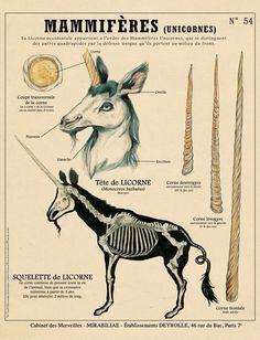 Licorne- description anatomique