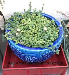 String of Pearls Plant-Senecio Rowleyanus Care and Propagation - Succulent Plants and Care Succulent Gardening, Planting Succulents, Planting Flowers, Succulent Plants, Cacti, Propogate Succulents, Flowering Succulents, Ghost Plant, Succulents Online