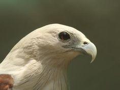 Brahminy-Kite-Bird-images.jpg (400×300)