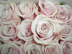 sweet escimo roses, blush pink for bouquets