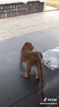 Funny Dachshund Video A doxie doesn't like the invader of his territory. The monkey has a response. Dachshund Funny, Dachshund Breed, Dachshund Love, Funny Dogs, Dapple Dachshund, Funny Animal Videos, Funny Animal Pictures, Cute Funny Animals, Videos Funny