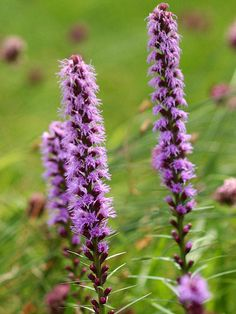Top pick for hot, sunny gardens. Naturally resistant to heat and drought and are available in pink, purple or white flowering varieties. Liatris forms a clump of narrow leaves that are topped in mid to late summer by 2-foot-tall spikes of bloom. This striking perennial is also a favorite with butterflies, bees, and other pollinators. Grows in Zones 3-9. Get more information on growing and caring for liatris. Line Flower, Flower Show, Hardy Perennials, Flowers Perennials, Lavender Flowers, Yellow Flowers, Butterfly Flowers, Planting Bulbs, Planting Flowers