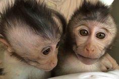 Primatas desenvolveram dificuldades de comunicação