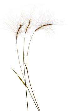 grass stems (mary jo hoffman) - STILL on white - Plants Plant Wallpaper, Nature Wallpaper, Iphone Wallpaper, Plant Aesthetic, White Aesthetic, Texture Photography, White Photography, Photography Flowers, Photography Backdrops