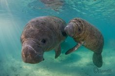 Manatee mom and calf- one of the famous manatees lives here in Bradenton, Fl. is Snooty and he was found as a tiny baby without a mom and lives now in Bishop Planetarium and has several other companions- Newton was the latest. We celebrate his birthday every year.(Day we found him).