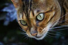 A Golden Bengal Cat