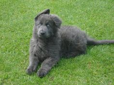 Blue German Shepherd | Enakai, our 10 weeks old blue GSD. - German Shepherd Dog Forums